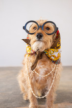 Funny Dog Dressed Up And Glasses