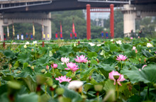 Lotus Water Lilies Blooming At Semiwon Park