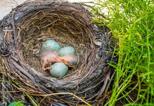 Photo newborn baby blackbird in the nest