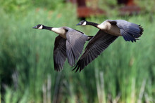 Canadian Geese Flying Over Fie...