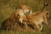 Lioness With Cubs On Field