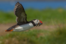 Close-up Of Atlantic Puffin Flying And Carrying Fish