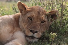 Close-Up Portrait Of Lioness Relaxing On Field