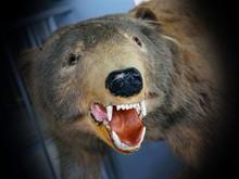 CLOSE-UP OF Bear