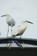 Snowy Egrets Perching On Boat Against Sky