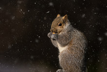 Closeup Of A Squirrel In The F...