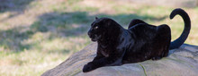 CLOSE-UP OF Black Panther