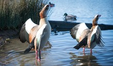 Egyptian Geese At Lakeshore