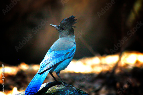 Fotografie, Obraz Close-Up Of Stellers Jay Perching On Rock