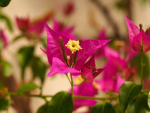 Inflorescence Of Bougainvillea...