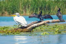 Dalmatian Pelican And Great Cormorants In Danube Delta, Romania