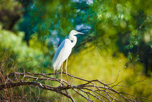 Great Egret, Ardea Alba In Dan...