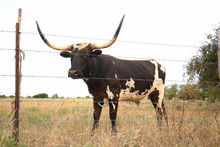 Texas Longhorn Bull Behind Bar...