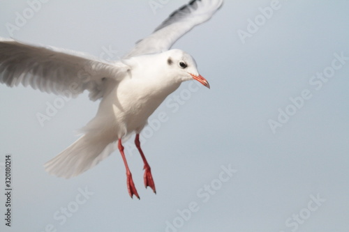 Tableau sur Toile Low Angle View Of Seagull Flying Against Clear Sky