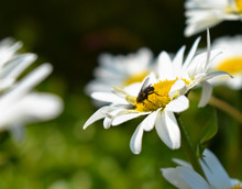 Close-Up Of Fly On Oxeye Daisy Flower