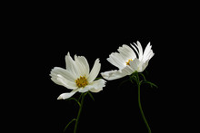 Summer Flowers White Cosmos - ...
