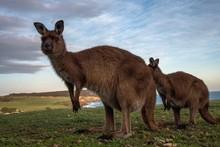 Portrait Of Kangaroo On Field