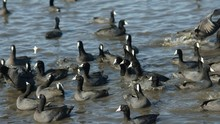 High Angle View Of Coots Swimm...