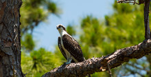 Osprey Perching On Tree Branch