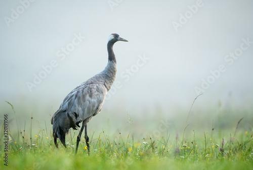 фотография Common crane bird (Grus grus)