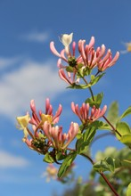 Vertical Closeup Shot Of Beautiful Pink Honeysuckle Flowers On A Blurred Background
