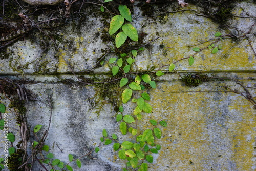Fototapeta moss on the wall green leaves obraz