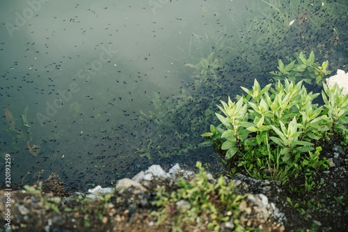 Valokuvatapetti High angle shot of tadpoles in the pond