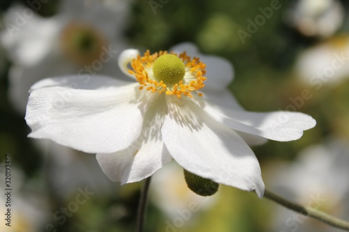 Photo Closeup shot of a white anemone flower with bright yellow anthers radiating from