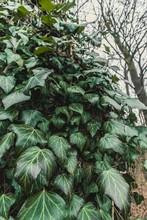 Vertical Shot Of Green Vine Pl...