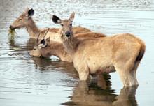 Deer In Lake At Ranthambore National Park
