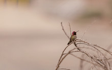 Annas Hummingbird Perching On Dried Plant