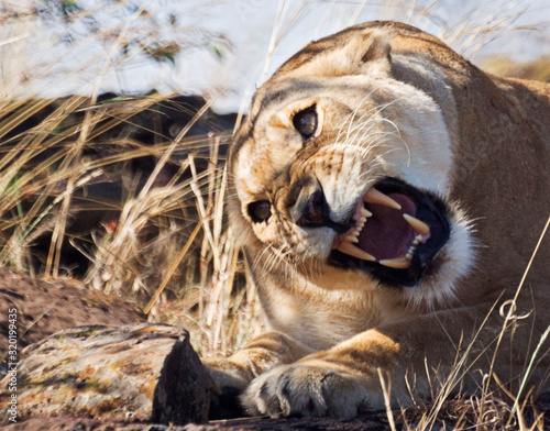 Photo Angry Lioness Relaxing On Field