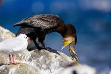 Close-Up Of Cormorant Feeding Young Bird