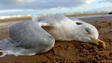 Dead Seagull ON BEACH