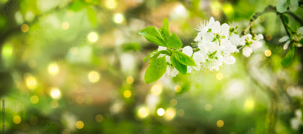 Fototapeta Beautiful floral spring abstract background of nature. Branches of blossoming cherry with soft focus on gentle light green background. Greeting cards with copy space