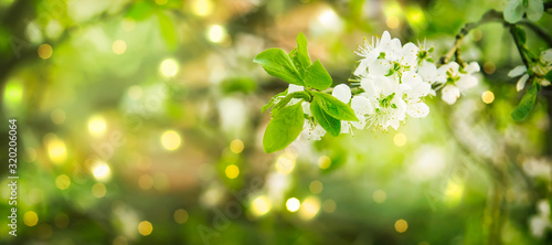 Obraz Beautiful floral spring abstract background of nature. Branches of blossoming cherry with soft focus on gentle light green background. Greeting cards with copy space - fototapety do salonu