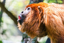 Close-Up Of Red Howler Monkey With Howling In Forest