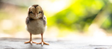 Cute Chick On Wooden With Ligh...