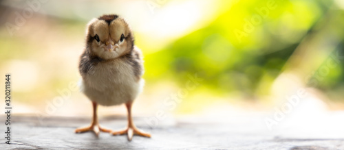 Photo cute chick on wooden with light nature backdrop