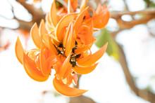 Butea Monosperma Or Palash Flower Of Southeast Asia From Nature. Plaso Monosperma, Butea Frondosa, Erythrina Monosperma.