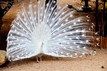 Beautiful White Peacock With Fanned Out Feathers