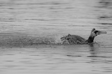 Cormorant SWIMMING IN Water