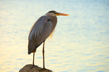 Portrait Of Great Blue Heron Resting On A Rock In Warm Morning Sunlight With A Water Background.
