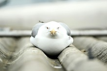 Close-Up Of Seagull On Roof