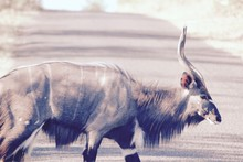 Antelope Walking On Field