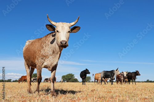 Obraz Nguni cow - indigenous cattle breed of South Africa - on rural farm. - fototapety do salonu