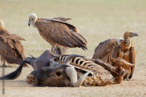 White-backed vultures (Gyps africanus) scavenging on a wildebeest carcass, South Africa Canvas Print