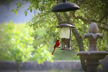 Northern Cardinal Perching Bird Feeder