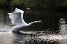 Side View Of White Swan Flappi...