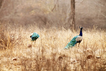 Peacocks On Field At Ranthambore National Park